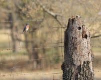 Oiseau bleu sur une barrière rustique de pâturage de fil regardant au côté Images stock