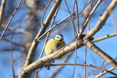 Oiseau bleu sur une branche images stock