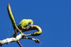 Oiseau brésilien Maritaca - maximiliani de Pionus - alimentant sur le fruit sur l'arbre image libre de droits