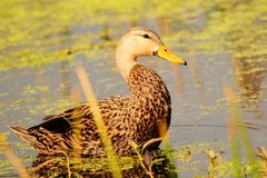 Oiseau : Canard chiné Images stock