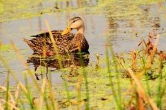 Oiseau : Canard chiné en lenticule Photographie stock libre de droits