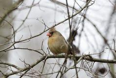 Oiseau cardinal du nord femelle, la Géorgie, Etats-Unis photographie stock libre de droits