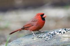Oiseau cardinal du nord masculin rouge mangeant la graine, Athènes GA, Etats-Unis photos stock