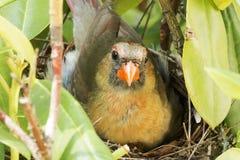 Oiseau cardinal femelle se reposant en plan rapproché de nid Photographie stock libre de droits