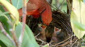 Oiseau cardinal masculin alimentant ses jeunes dans le nid Photographie stock