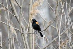 Oiseau (Carouge À Épaulettes) 146 Royalty Free Stock Photo