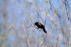 Oiseau (Carouge À Épaulettes) 160 Stock Photo