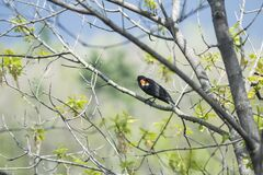 Oiseau (Carouge À Épaulettes) 177 Royalty Free Stock Photography