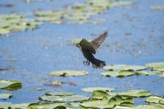 Oiseau (Carouge À Épaulettes) 278 Royalty Free Stock Image