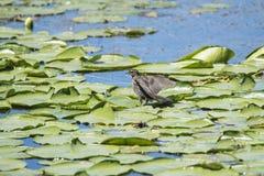 Oiseau (Carouge À Épaulettes) 280 Stock Photography