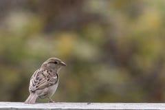 Oiseau cenary de Brown Photos libres de droits