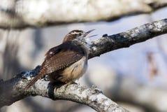 Oiseau chanteur de Carolina Wren chantant, la Géorgie Etats-Unis images libres de droits