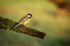Oiseau chanteur de grand commandant de mésange, de Parus, noir et jaune se reposant sur la branche d'arbre gentille de lichen, tc photo libre de droits