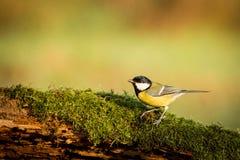 Oiseau chanteur de grand commandant de mésange, de Parus, noir et jaune se reposant sur la branche d'arbre gentille de lichen, tc photos libres de droits