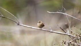 Oiseau chanteur de roitelet d'hiver, la Géorgie, Etats-Unis Image libre de droits
