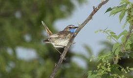 Oiseau chanteur, la gorge bleue Photo stock