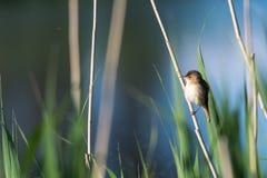 Oiseau chanteur mignon, Reed Warbler, s'asseyant dans les roseaux photo libre de droits
