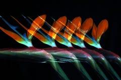 Oiseau cinq du paradis Photographie stock libre de droits