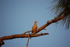 Oiseau - colombe à l'extérieur sur un membre Photographie stock libre de droits