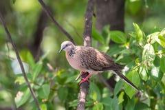 Oiseau (colombe, pigeon ou désambiguisation) dans une nature photo stock