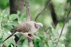Oiseau (colombe, pigeon ou désambiguisation) dans une nature photographie stock libre de droits