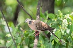 Oiseau (colombe, pigeon ou d?sambiguisation) dans une nature photographie stock libre de droits