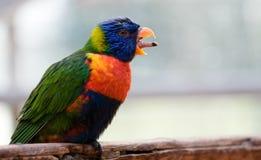 Oiseau coloré Photo libre de droits