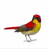 Oiseau coloré d'isolement Photos stock