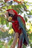 Oiseau coloré de macaw photo libre de droits