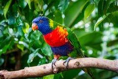 Oiseau coloré de perroquet d'arc-en-ciel Images libres de droits