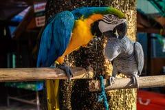 Oiseau coloré de perroquet se reposant sur la perche Image libre de droits