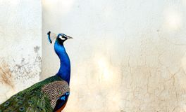 Oiseau coloré indien de paon - oiseau national d'Inde Images libres de droits