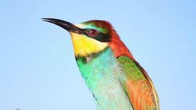 Oiseau coloré sauvage chantant sur le fond du ciel banque de vidéos