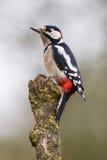 Oiseau coloré sur la branche Photo libre de droits
