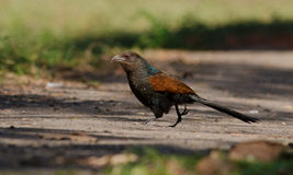 OISEAU : Coucal Photo stock