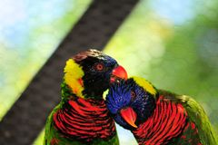 Oiseau, couple de lorikeet Photo stock