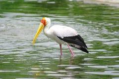 Oiseau courant jaune Image libre de droits