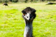Oiseau d'émeu Photographie stock libre de droits