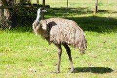 Oiseau d'émeu Image libre de droits