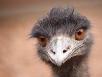 Oiseau d'émeu Photo stock