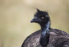 Oiseau d'émeu Image stock