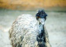 Oiseau d'émeu au zoo Images stock