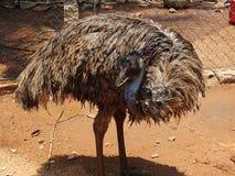 Oiseau d'émeu dans l'émeu-ferme Image libre de droits