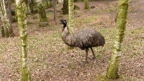 Oiseau d'émeu en parc de ZOO Photographie stock