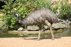 Oiseau d'émeu par la rive Photo libre de droits