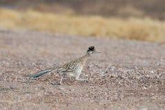 Oiseau d'état du Mexique Images libres de droits