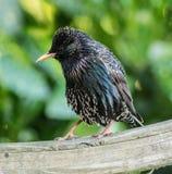 Oiseau d'étourneau été perché sur la barrière images libres de droits