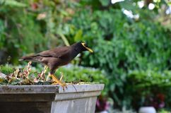 Oiseau d'étourneau avec le bec jaune image stock