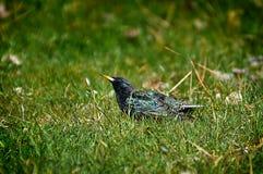 Oiseau d'étourneau sur l'herbe Photographie stock