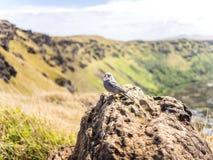 Oiseau d'île de Pâques Photographie stock libre de droits